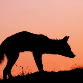 Roeselien Raimond - Red Fox Silhouette at Sunset