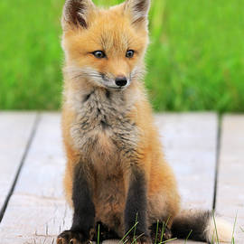 Red Fox by Tony Beck
