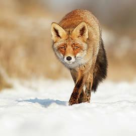 Roeselien Raimond - Red Fox Walking Through a Snow landscape