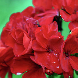 Steven Ward - Red Geranium 3087 H_2