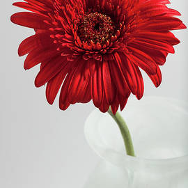 Avril Jones LRPS - Red Gerbera in White Vase
