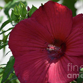 Ruth Housley - Red Hibiscus 3