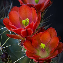Saija Lehtonen - Red Hot Cactus