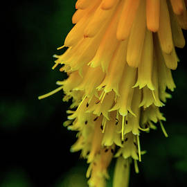 Red Hot Poker Detail by Sarah M Taylor