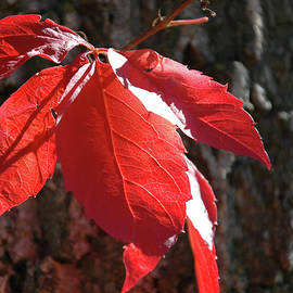 Red Leaves Climbing by Kathy Carlson