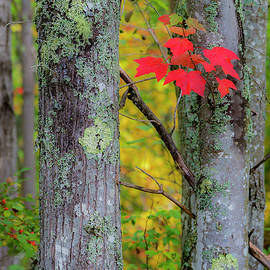 Red Leaves by Gary Lengyel