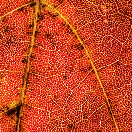 Lonnie Paulson - Red Maple Leaf Close-up