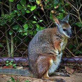 Cynthia Guinn - Red Necked Wallaby