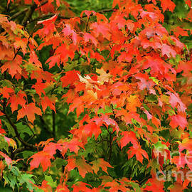 Bob Phillips - Red on Green Maple Leaves