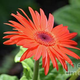 Ruth Housley - Red Orange Daisy