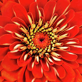 Don Johnson - Red-Orange Zinnia