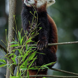 Red Panda Bliss by Greg Nyquist