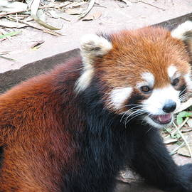 Red Panda by Carla Parris