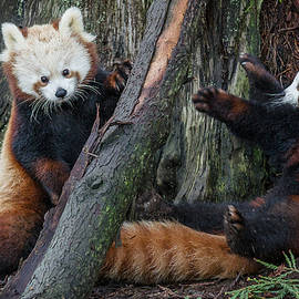 Greg Nyquist - Red Panda Cubs at Play
