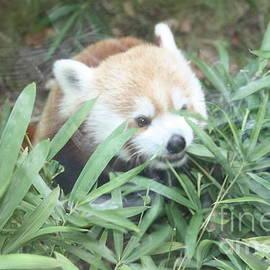 John Telfer - Red Panda Hiding