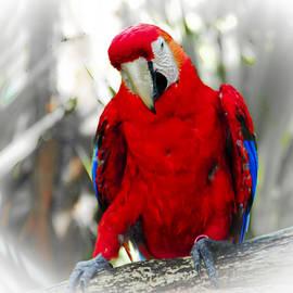 Roger Wedegis - Red Parrot