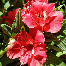 Trudee Hunter - Red Peruvian Lilies.