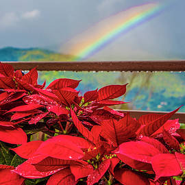 Red Poinsettias and Rainbow by Venetia Featherstone-Witty