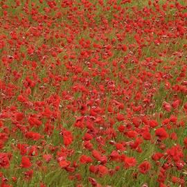 Red Poppies 2 by Jouko Lehto