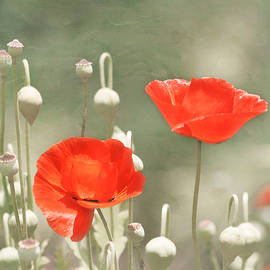 Red Poppies by Kim Hojnacki