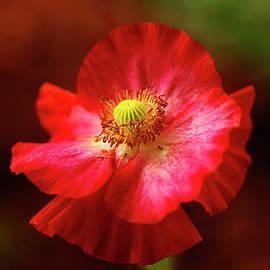 Red Poppy by Bill Morgenstern