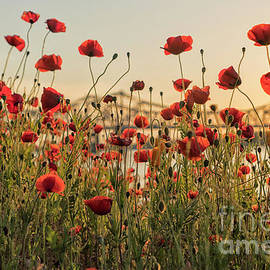 Red poppy flowers and Natchez bridge by Patricia Hofmeester