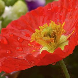 Lindley Johnson - Red Poppy