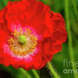 Veikko Suikkanen - Red Poppy