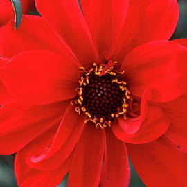 Christiane Schulze Art And Photography - Red Red Dahlia