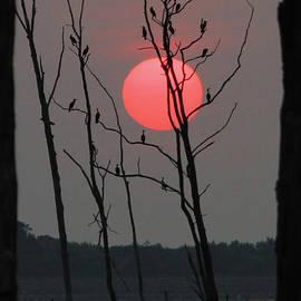 Roger Becker - Red Rise Cormorants