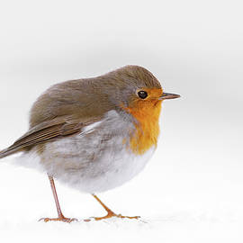 Roeselien Raimond - Red Robin in the White Snow
