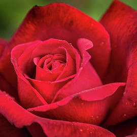 Red Rose at Brookside Gardens by Don Johnson