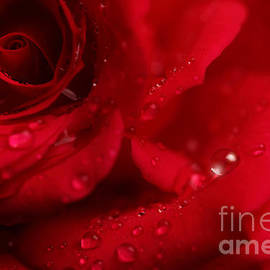 LHJB Photography - Red Rose with droplets