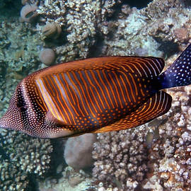 Red Sea Sailfin Tang 3 by Johanna Hurmerinta