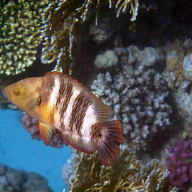 Red Sea Wrasse