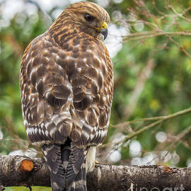 Red Shouldered Hawk by May Finch