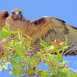 Edita De Lima - Red Shouldered Hawk