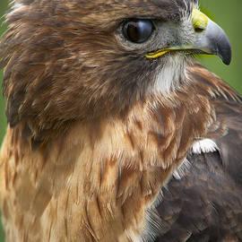 F Leblanc - Red Shouldered Hawk