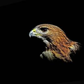 Stuart Harrison - Red Tail Hawk