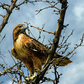Alana Thrower - Red-Tailed Hawk