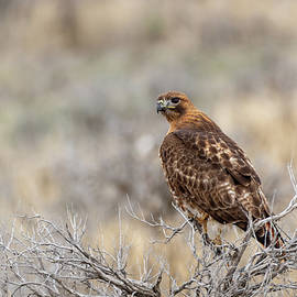 Red Tailed Hawk by Michael Chatt