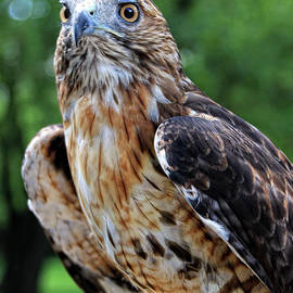 Anna Sheradon - Red Tailed Hawk On The Perch