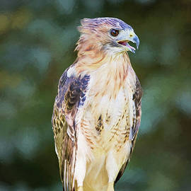 Sharon McConnell - Red Tailed Hawk