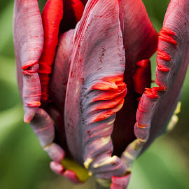 KG  Photography - Red Tulip Emerging