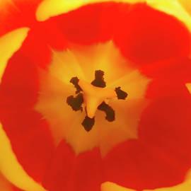Johanna Hurmerinta - Red Tulip Macro