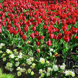 Red Tulips by Kaye Menner