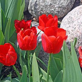 Kay Novy - Red Tulips On The Rocks