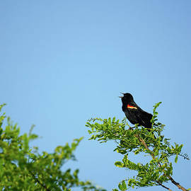 Red-Winged Black Bird - HD Connelly