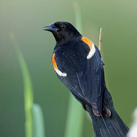 Jestephotography Ltd - Red-winged Blackbird - Catail perch