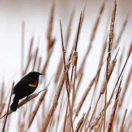 Debbie Oppermann - Red Winged Blackbird